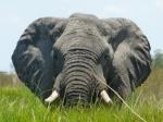 Elefant, Delta de l'Okavango (Botsawa)